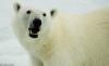 Polar Bear Displaying Teeth