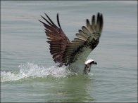 Eastern Osprey catching fish by Ian