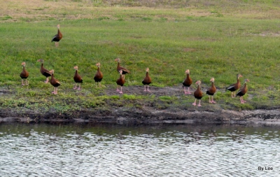 Black-bellied Whistling Ducks by Lee 3-15-20