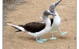 Paintbrush Birds – Blue-footedBooby