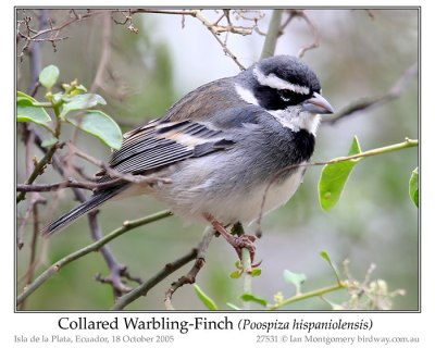 Collard Warbling-Finch by Ian