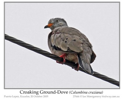 Croaking Ground-dove by Ian