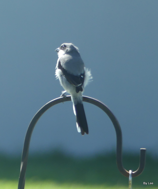 Loggerhead Shrike 1 Oct 2020-2