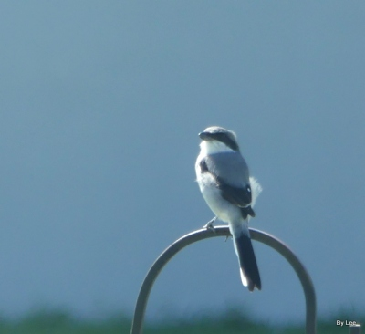 Loggerhead Shrike on hook - by Lee Closeup