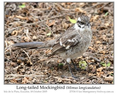 Long-tailed Mockingbird by Ian