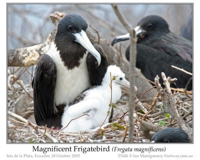 Magnificent Frigatebird Family by Ian
