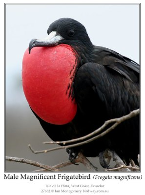 Male Magnificent Frigatebird by Ian