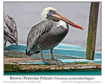 Brown/Peruvian Pelican (Pelecanus occidentalis/thagus) by Ian