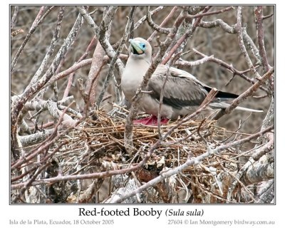 SUL-Suli Red-footed Booby (Sula sula) by Ian
