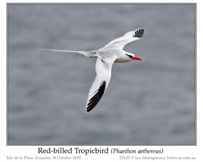 Red-billed Tropicbird by Ian