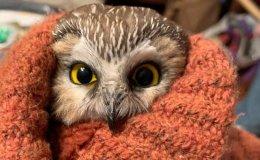 Rockefeller the Saw-Whet Owl in ChristmasTree