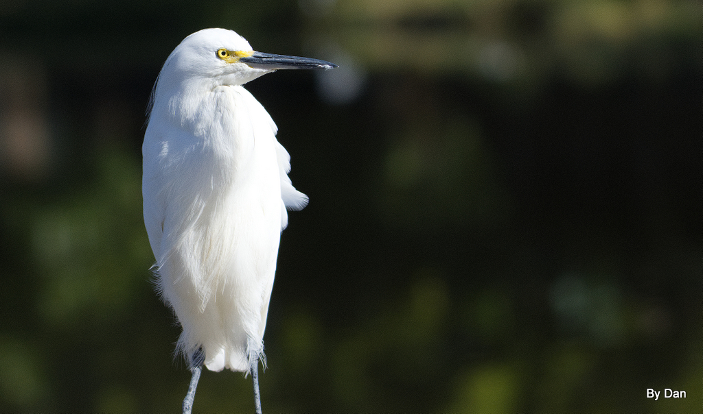 Snowy Egret at Gatorland by Dan