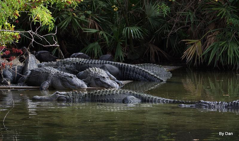 Gators at Gatorland by Dan