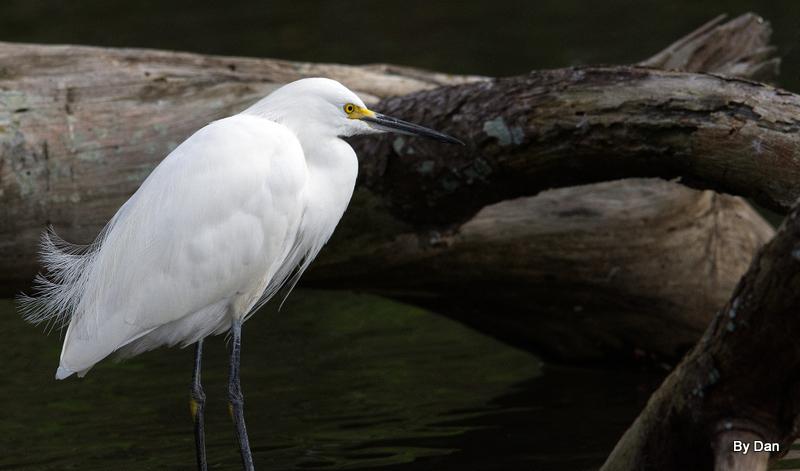 Snowy Egret at Gatorland by Dan