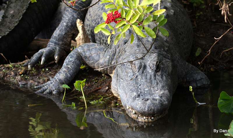 Gator at Gatorland by Dan