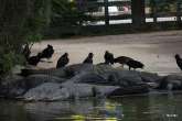Gators at Gatorland by Dan