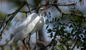 Great Egret at Gatorland by Dan