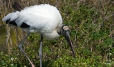 Wood Stork at Gatorland by Dan
