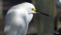 Snowy Egret and Gator at Gatorland by Dan