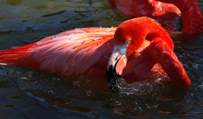 American Flamingo by Dan at Gatorland