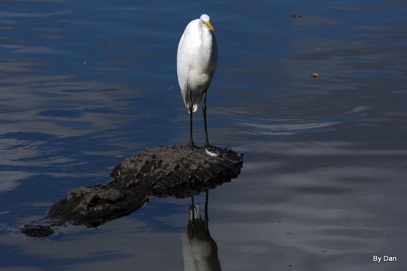 Great Egret and Gator at Gatorland by Dan
