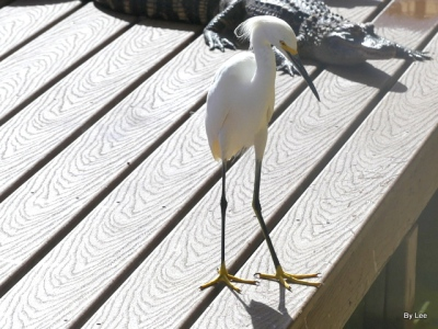 Crazy Snowy Egret at Gatorland 123020 by Lee