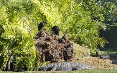 Vultures Surveying a Gator near entry of Gatorland