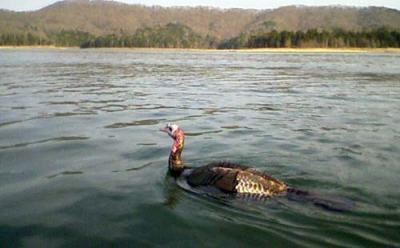 Turkey Swimming in Lake @United Poultry