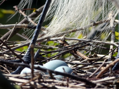 Eggs in Great Egret Nest Gatorland 02252021 by Lee