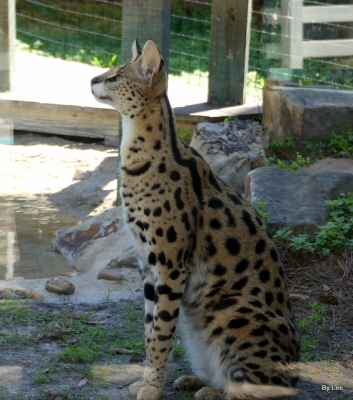 Jabari the Serval - Gatorland 02252021 by Lee