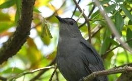 Catbird at Gatorland