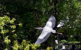 Great Blue Herons –Gatorland