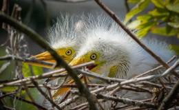 Baby Egrets atGatorland