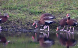 Whistling Ducks Encountering ATurtle