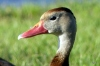 Black-bellied Whistling Duck by Lee