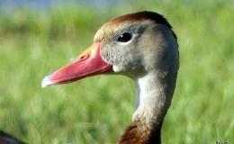 Wordless Whistling Ducks