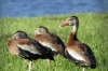 Black-bellied Whistling Ducks in yard