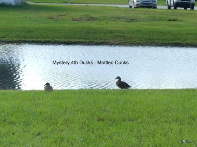 Mottled Ducks by Lee