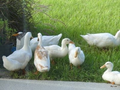 Peking Ducks and one unknown Duck by Lee