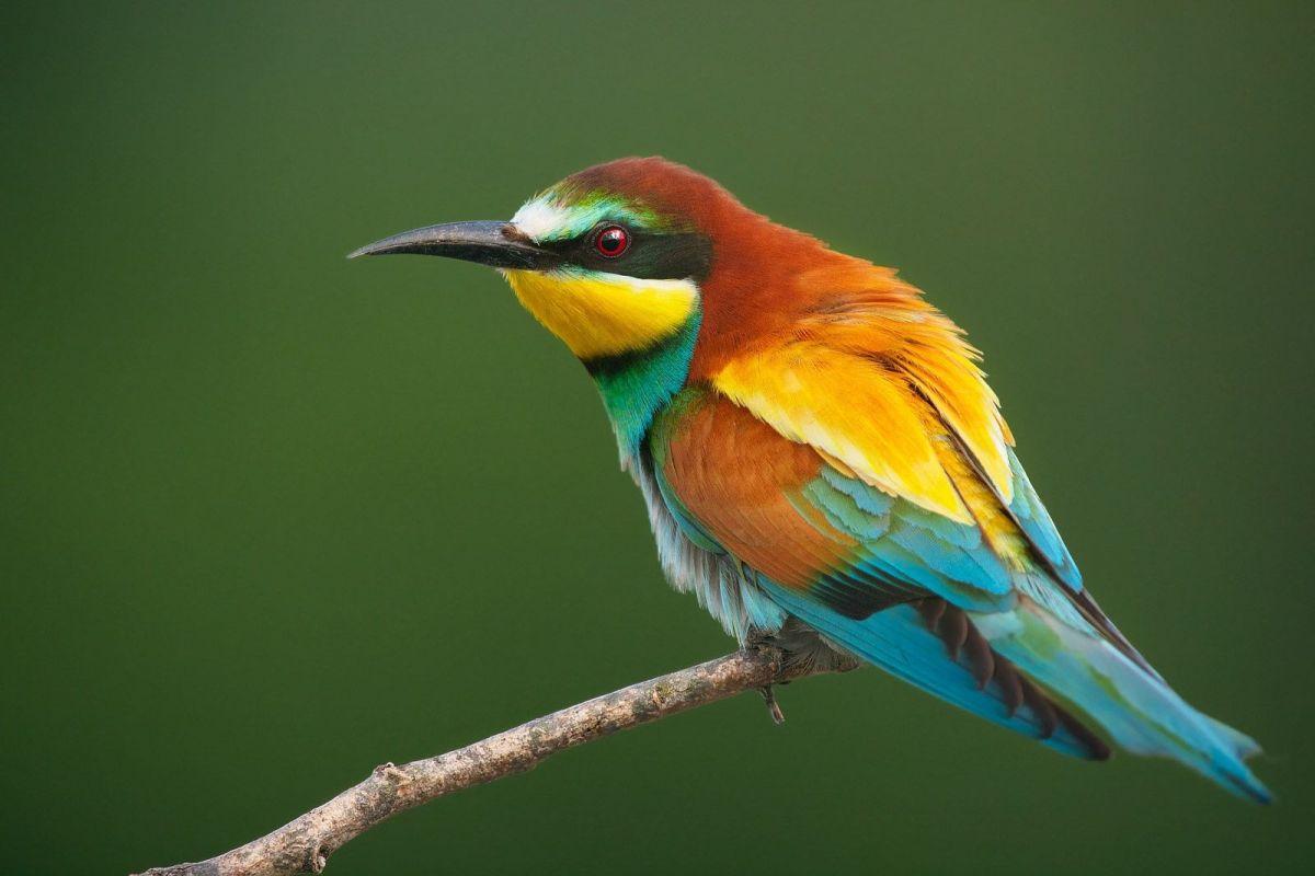 European Bee-eater @Francesco Pellegrini