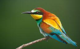 Paintbrush Birds – EuropeanBee-eater