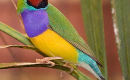 Paintbrush Birds – GouldianFinch