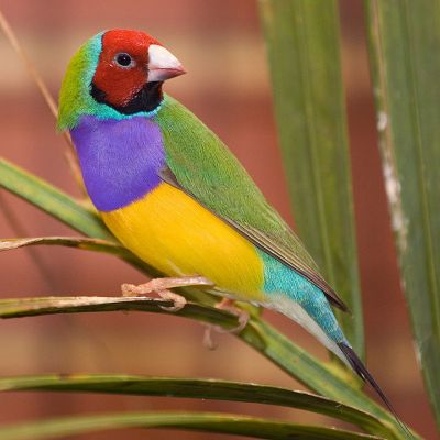 Gouldian Finch - Male adult @Wikipedia