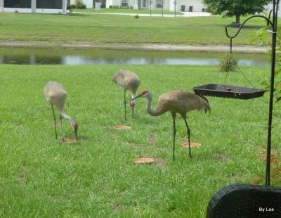 Sandhill Cranes feeding 6/21 by Lee