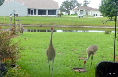 Sandhill Cranes feeding 6/22 by Lee
