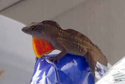 Anole with dewlap showing by Lee