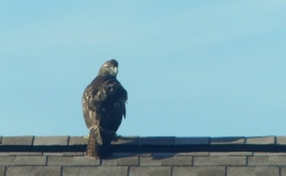 Birdwatching and Blessings – Red-tailedHawk